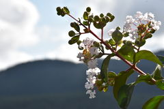 filialen blommar white Arkivbild