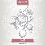 Filialen för den Psidiumguajavaaka guavan skissar på elegant snör åt bakgrund Royaltyfria Bilder