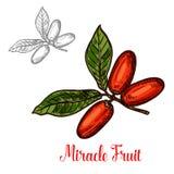 Filialen för mirakelfruktgräsplan skissar av exotiskt bär royaltyfri illustrationer