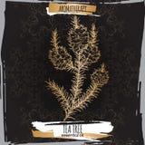 Filialen för trädet för Melaleuca alternifoliaaka te skissar på svart bakgrund Royaltyfria Foton