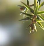 Filialen fattar Juniperusoxycedrusen som är cade med visare Royaltyfri Bild