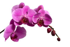 filialen isolerade rosa white för orchid Royaltyfria Foton
