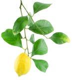 filialen låter vara citronen Royaltyfria Foton