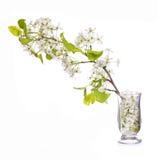 Filialen med den vita våren blomstrar i den isolerade Glass vasen royaltyfri foto