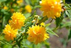 Filialen med guling blommar Kerry Japanese royaltyfri bild