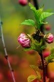 Filialen med små rosa blommor fattar busken med liten rosa flowe Fotografering för Bildbyråer