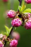 Filialen med små rosa blommor fattar busken med liten rosa flowe Arkivfoto