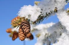 filialen räknade den spruce treen för frost Royaltyfri Bild