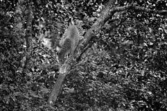 filialen som har dolt den varma leoparden, ligger kupasuntreen arkivfoto