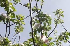 Filialer av äppleträdet i blom Arkivbild