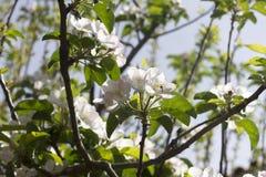 Filialer av äppleträdet i blom Fotografering för Bildbyråer