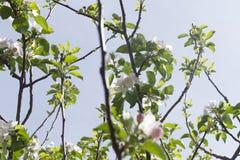 Filialer av äppleträdet i blom Arkivbilder