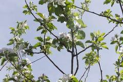 Filialer av äppleträdet i blom Royaltyfria Foton