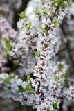 Filialer av att blomma den lösa körsbäret, vårbegrepp royaltyfri fotografi