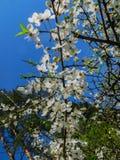 Filialer av att blomma körsbärsröda plommoner i den tidiga våren i trädgården royaltyfria foton