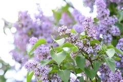 Filialer av att blomma lilan, vulgaris Syringa arkivfoto