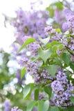 Filialer av att blomma lilan, vulgaris Syringa royaltyfria foton
