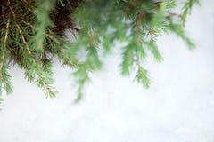 Filialer av barrträd på en ljus bakgrund arkivfoton