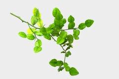 Filialer av Bergamotträdet på en vit bakgrund, inga skuggor Arkivfoton