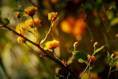 Filialer av blomningträd Arkivbild