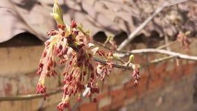 Filialer av blomningtr?d stock video