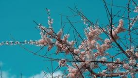 Filialer av blomstra träd för ett äpple svänger i vinden arkivfilmer