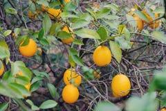 Filialer av citrontr?det royaltyfri bild