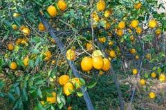Filialer av citrontr?det fotografering för bildbyråer