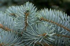 Filialer av den blåa granen i stort, närbild Royaltyfri Bild