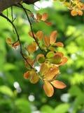 Filialer av den dekorativa treen med unga leaves Fotografering för Bildbyråer