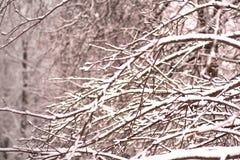 Filialer av den dolda insnöade vintern Parke för träd Royaltyfri Foto
