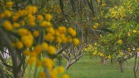 Filialer av den guld- wattlen för våren i gräsplan parkerar zon i modern stad arkivfilmer