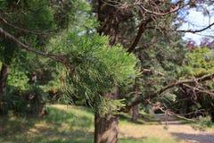 Filialer av den jätte- sequoian royaltyfri fotografi
