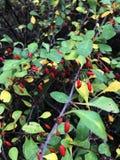 Filialer av den japanska Berberisberberisen Thunbergii med mogna röda frukter FamiljBerberidaceae royaltyfria bilder