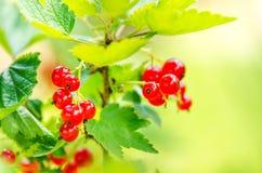Filialer av den röda vinbäret på en buske Organiska och nya bär Rå och ny frukt Begrepp av sund mat med massor av antioxidan Royaltyfria Foton