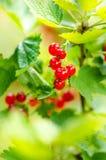 Filialer av den röda vinbäret på en buske Organiska och nya bär Rå och ny frukt Begrepp av sund mat med massor av antioxidan Royaltyfri Bild