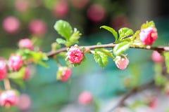 Filialer av den rosa busken Luizenia Arkivfoto