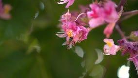 Filialer av den rosa kastanjen med blommor i vår Rosa kastanjebruna blommor pollineras av ett bi, closeup stock video