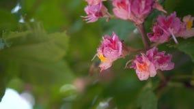Filialer av den rosa kastanjen med blommor i vår Rosa kastanjebruna blommor pollineras av ett bi, closeup arkivfilmer