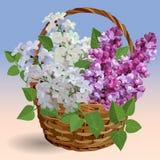 Filialer av den vita och purpurfärgade lilan i en vide- korg stock illustrationer
