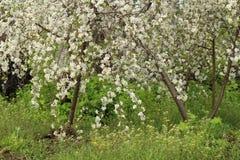 Filialer av det blomstra körsbärsröda trädet Fotografering för Bildbyråer