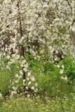 Filialer av det blomstra körsbärsröda trädet Arkivfoto