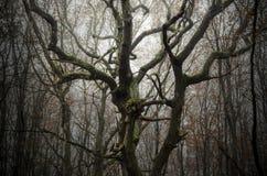 Filialer av det gamla trädet med grön mossa i forntida skog Arkivfoto