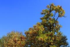 Filialer av det kastanjebruna trädet Royaltyfri Bild