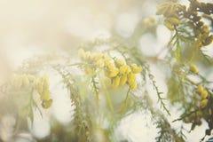 Filialer av det vintergröna trädet Arkivfoton