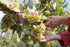 Filialer av druvor för vitt vin som växer i georgiska fält Stäng sig upp sikt av den nya rött vindruvan i Georgia Vingårdsikt med Royaltyfri Foto