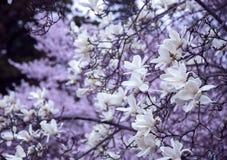 Filialer av en blommande magnolia Fotografering för Bildbyråer