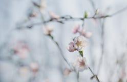 Filialer av en blomstra persika Royaltyfri Foto