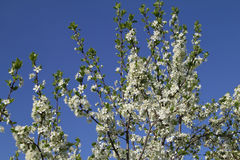 Filialer av en blomstra plommon Royaltyfri Foto