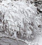 Filialer av en buske i parkerar böjde under vikten av snö efter ett tungt snöfall fotografering för bildbyråer